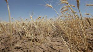 Гибель урожая стала причиной объявления ЧС в Пермском крае
