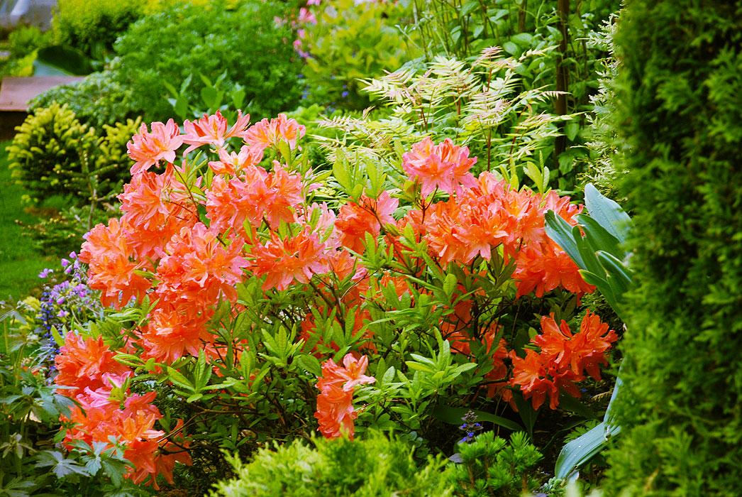 В ботаническом саде ПГНИУ расцвёл редкий рододендрон