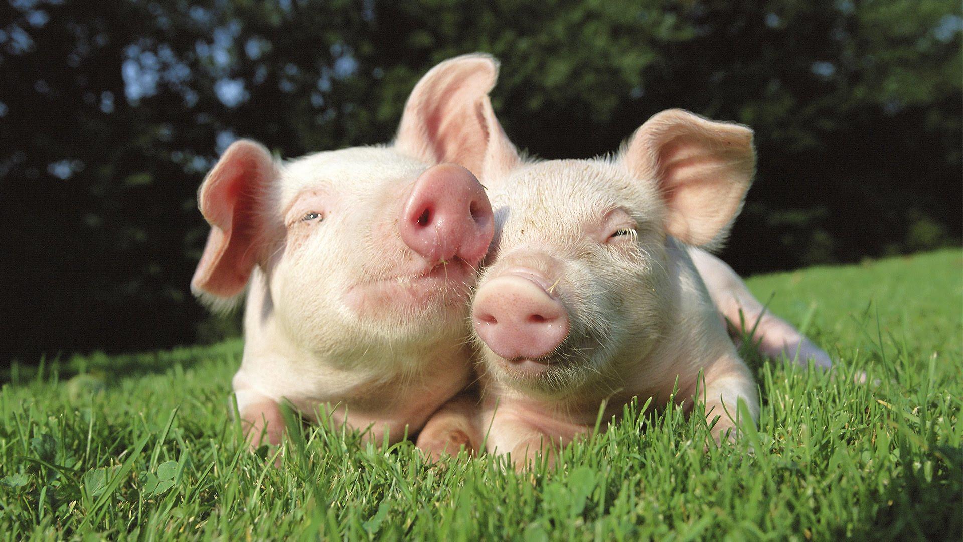 Антимонопольщики считают незаконными субсидии Пермскому свинокомплексу