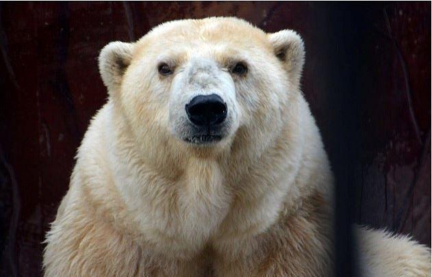 Самая старая в России белая медведица умерла в Перми