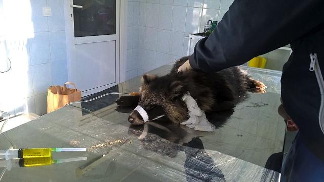 В Перми защитники животных спасли енотовидную собаку