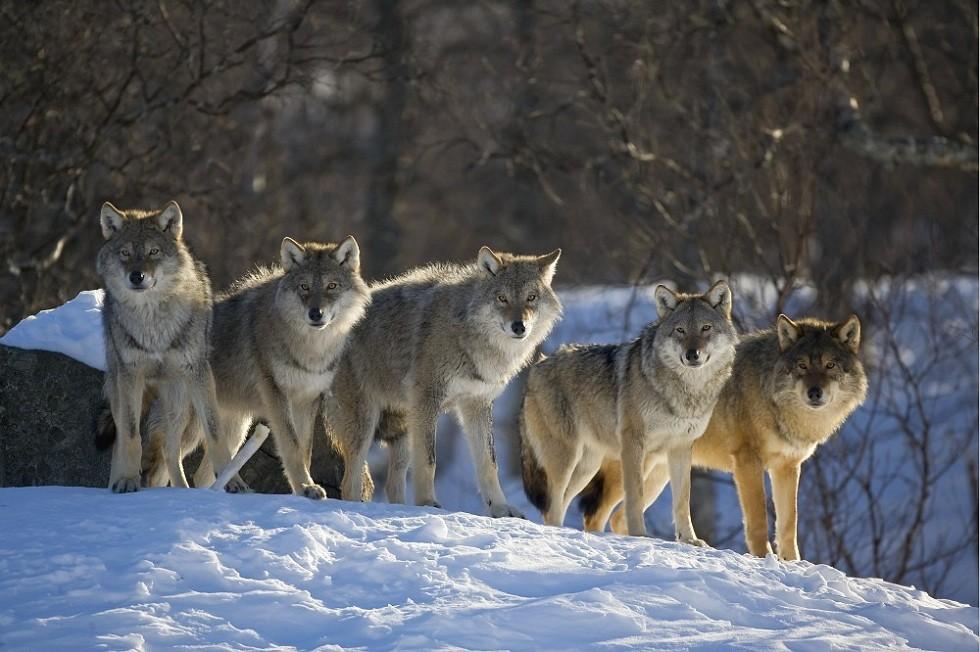 Четыре миллиона выделяют в Пермском крае на отстрел волков
