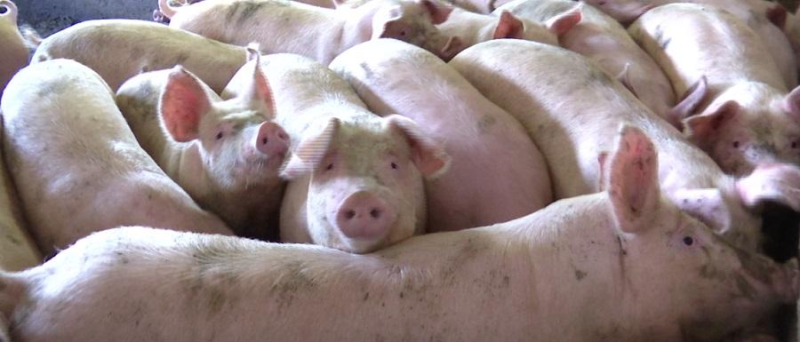 Экс-руководитель «Пермского свинокомплекса» стал во главе мясокомбината в Нытве